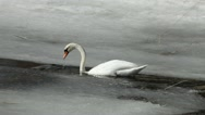 Mute swan diving and searching food in early spring Stock Footage
