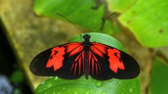 Stunning Tiger Longwing butterfly Heliconius Hecale  MOVING WINGS Stock Footage