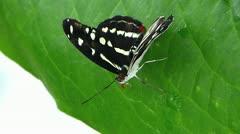 Stunning Dot-Dash Sergeant butterfly (Athyma kanwa kanwa) Stock Footage