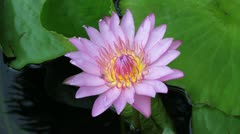 Pink lotus and insect Stock Footage