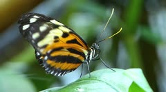 Stunning elegant Tiger Longwing butterfly ACTIVE  MOVING WINGS Heliconius Hecale Stock Footage