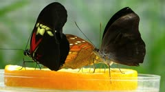 Stunning Tiger Longwing butterfly ACTIVE Heliconius Hecale Stock Footage