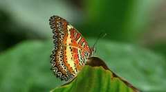Stunning Butterfly Leopard Lacewing ACTIVE Centhosia Cyane Stock Footage