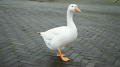 White goose on the stone road, Stock Footage
