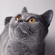 Gray british cat with yellow eyes Stock Photos