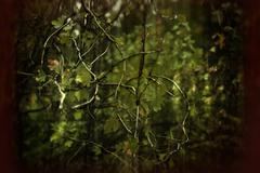 gooseberry branches with foliage - stock photo