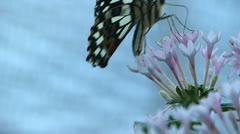 Stunning Lemon Butterfly Papilio demoleus ACTIVE  pollinating pollination  Stock Footage