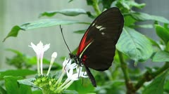 Stunning Tiger Longwing butterfly Heliconius Hecale sucking pollen Stock Footage