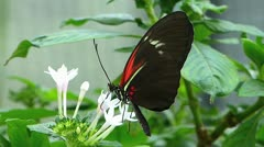 Stunning Tiger Longwing butterfly Heliconius Hecale pollinating pollination  Stock Footage