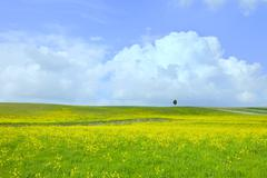 yellow green field, tree and light cloudy blue sky - stock photo