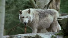 gray wolf - stock footage