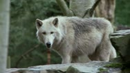 Stock Video Footage of gray wolf