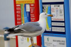 Seagull checking what's on in town. Stock Photos