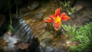 Stock Video Footage of Day Lily Stream Loop