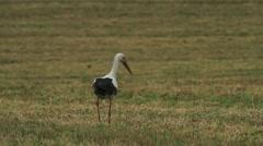 Stork Stock Footage