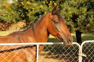 Large brown pony at closed gate Stock Photos