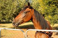 Large brown pony at gate Stock Photos