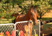 Large brown pony with head over gate Stock Photos