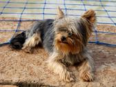 Miniature yorkshire terrier next to pool Stock Photos