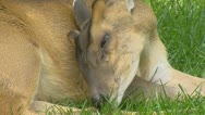 Chinese Muntjac, Muntiacus reevesi, licks paw - close up. Stock Footage