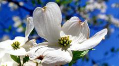 Dogwood blossom - stock photo