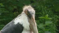 Marabou stork, leptoptilos crumeniferus, on camera Stock Footage