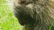 North American Porcupine (Erethizon dorsatum) Stock Footage