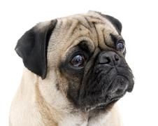 Pug Portrait Stock Photos
