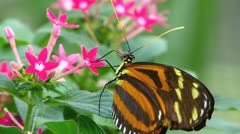 Stunning Butterfly Tiger Longwing Postman pollinating pollination  Stock Footage