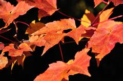 Red maple leaves Stock Photos