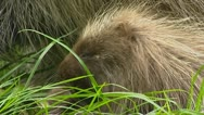 North American Porcupine (Erethizon dorsatum) young eating Stock Footage