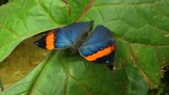 Stock Video Footage of Stunning Butterfly Orange Oakleaf Dead leaf Kallima Inachus MOVING WINGS