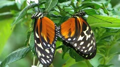 Stunning Butterfly MATING Tiger Longwing Postman  Stock Footage
