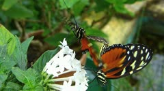 Stunning Butterfly Tiger Longwing Postman MATING Heliconius hecale zuleika Stock Footage