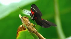 Stunning Butterfly Julia Heliconian Dryas Fabricius Postman Heliconius melpomene Stock Footage