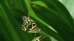 Stunning Lemon Butterfly Papilio Demoleus try MATING Stock Footage