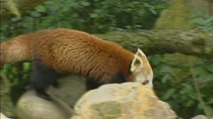 Red panda (ailurus fulgens) runs over rocks Stock Footage