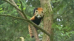 Red panda (ailurus fulgens) in tree Stock Footage