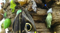 Stunning Butterfly OWL Caligo memnon hanging near Cocoon Stock Footage