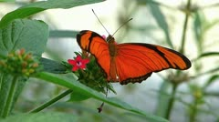 Stunning Butterfly Julia Heliconian Dryas Fabricius pollination Stock Footage