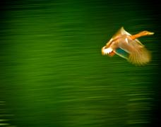 duck in motion - stock photo