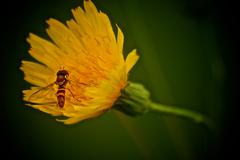 Stock Photo of Wasp on dandy lion