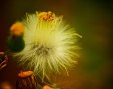 Fluffy flower - stock photo