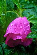 Stock Photo of Rain drops on pink rose