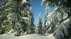 Winter Spruce Forest landscape snow conifer light wind shallow depth of field Stock Footage