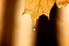 Stock Photo of Raindrop on maple leaf