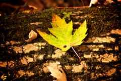 Stock Photo of Maple leaf on log