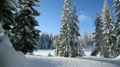 Winter spruce forest landscape snow dolly shot Stock Footage