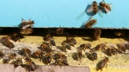 Bees flying into a beehive. Close up. Stock Footage