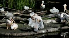 Pelicans gray Stock Footage